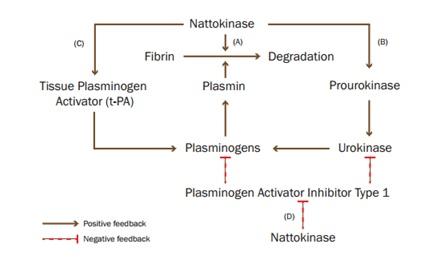 Cơ chế của Natokinate